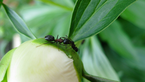Friendly fight ants photography.