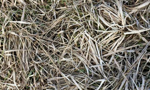 Dried Hay Texture