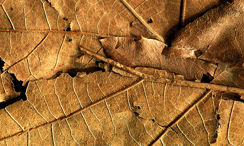 Very Nice Dried Leaf Texture