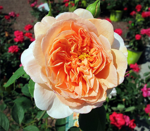 Tea Clipper Rose