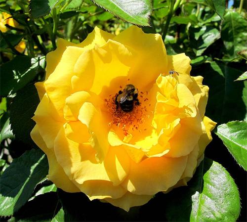 The Yellow Rose of Massachusetts