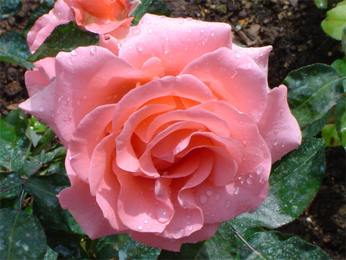 Beauty - Rose No.4