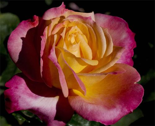 A Fine Rose