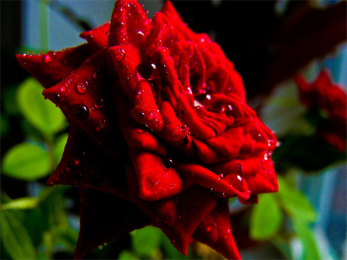 precious rose with water drops