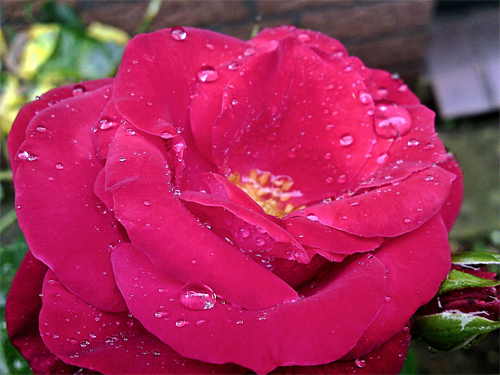 red rose in the rain!