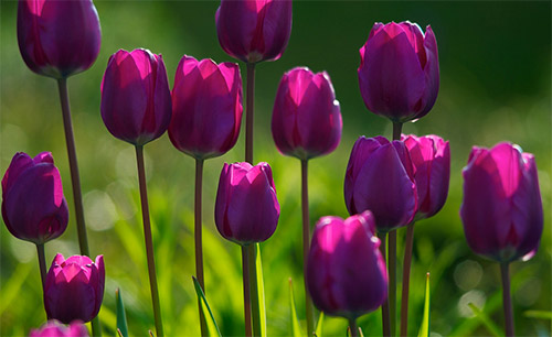 purple tulips pictures