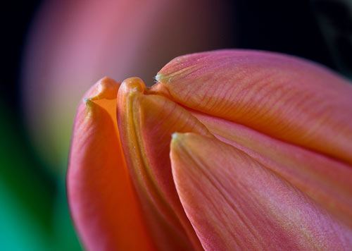 Very Inspiring Tulip Picture