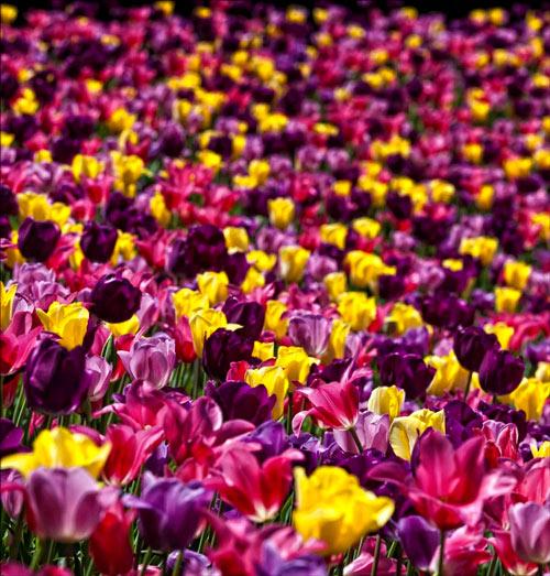 Inspiring Tulip Picture