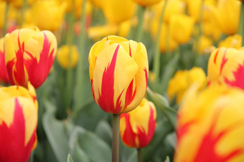 Eye-Catching Tulip Picture