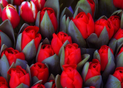Prefectuly Amazing Tulip Picture