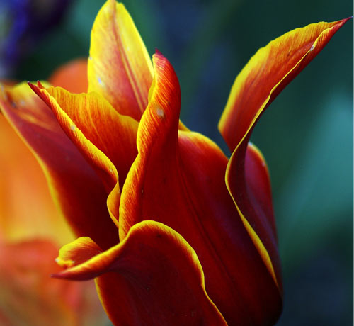 Awesome Tulip Picture