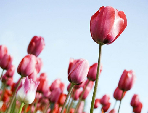 pink tulips photos