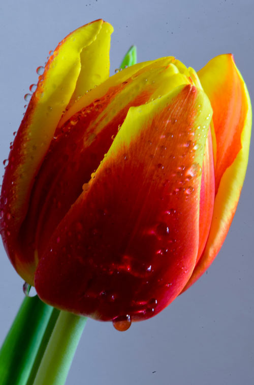 Attractive Tulip Picture