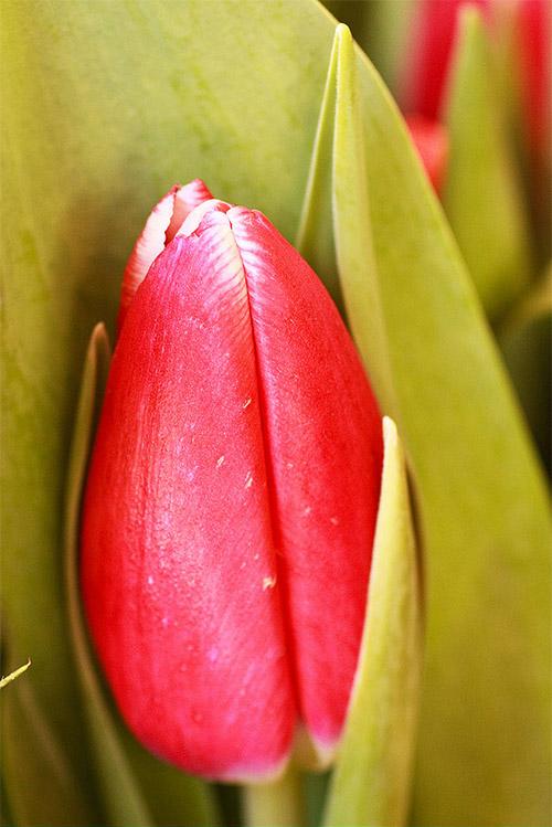 Awe-inspiring Tulip Picture