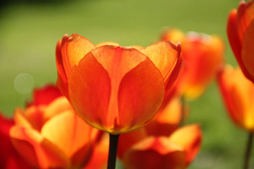 Wonderful Tulip Picture