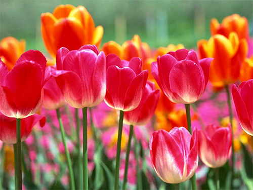 dutch tulips pictures