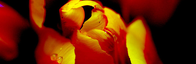 30 Flourishing Tulip Pictures to Keep You Inspired
