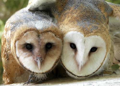 Barn Owl Siblings