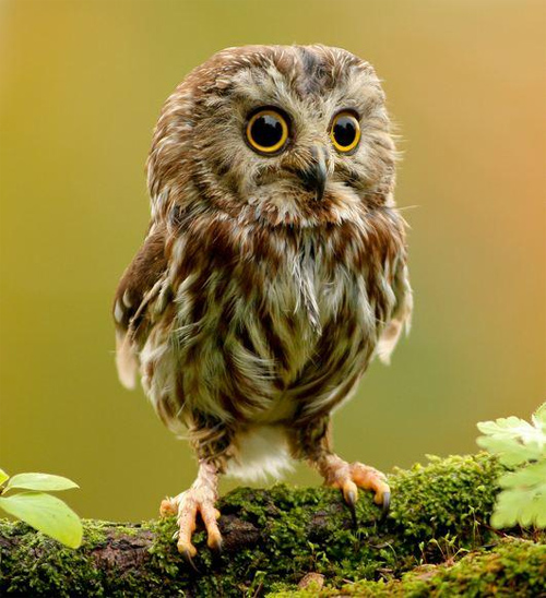Fae Owl