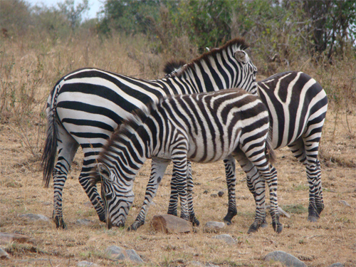 Mara Zebras