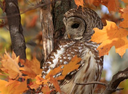 Autumn Barred Owl