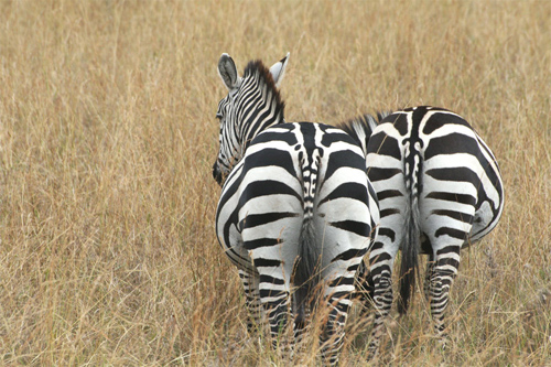 Two Zebra behinds