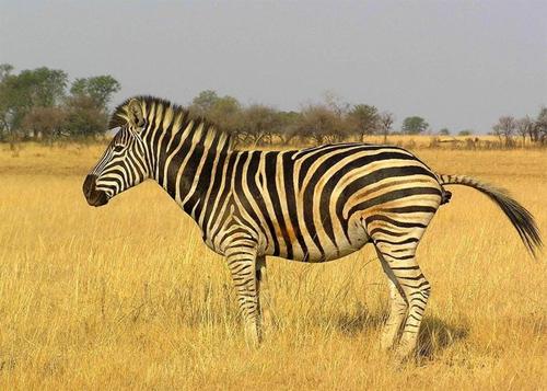 Zebra Poo