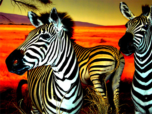 Yay for Zebra