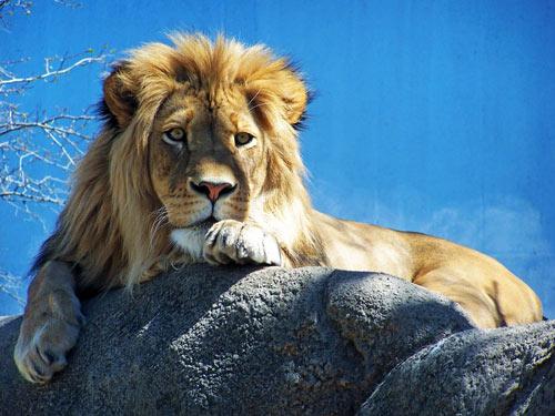 Inspiring Shot Lion