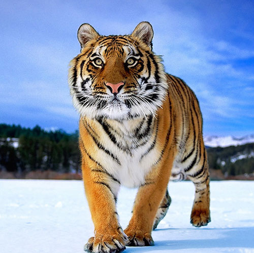 Strong Looking Tiger Picture