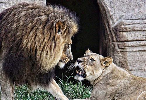 Impressive Lion Picture
