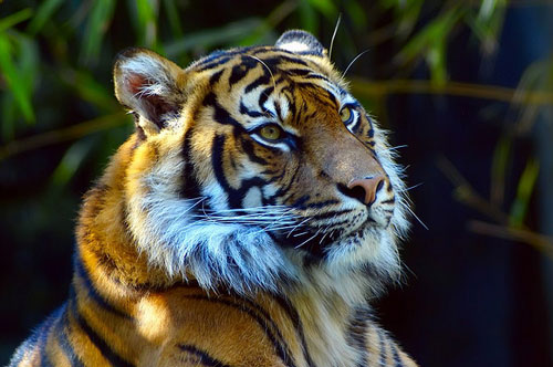 Sincere Tiger Picture