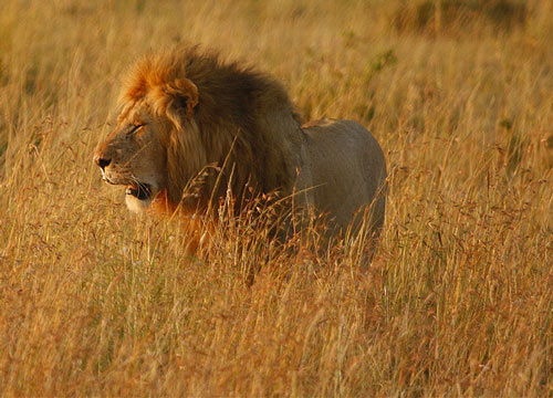 Sad But nIce Lion Picture