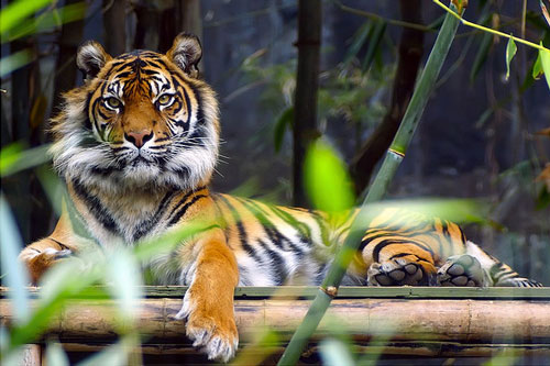 Strict Looking Tiger Picture