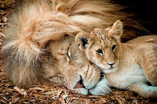 Heartwarming Lion Picture