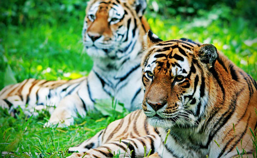 At the Wild Tiger Picture