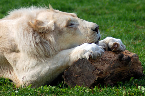 So Touching Lion Picture