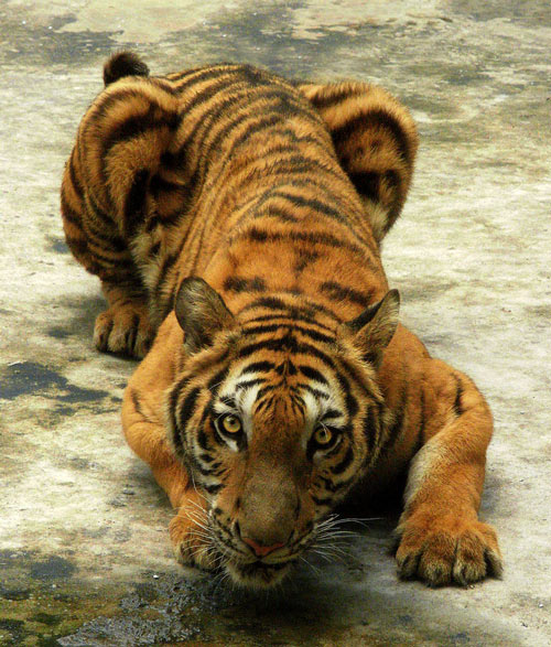 Attractive Tiger Picture