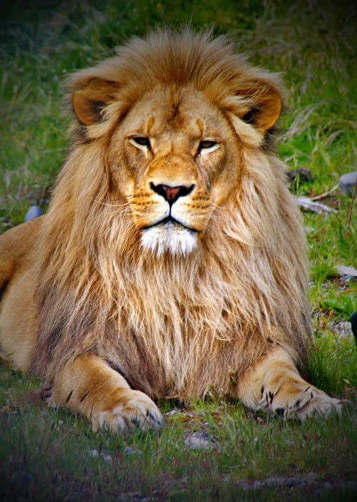 Inviting Lion Picture