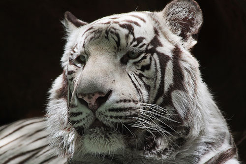 Worth Posting Tiger Picture