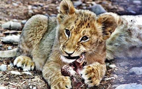 Undeniably Cute Lion Picture