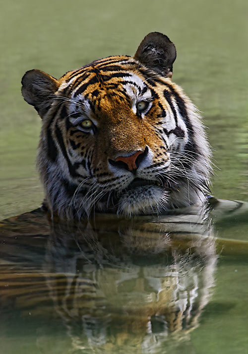 Fantastic Tiger Picture