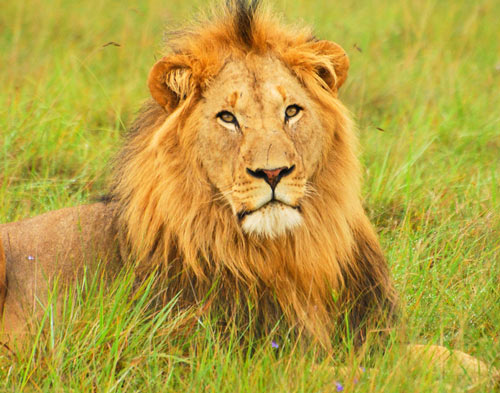 Bright Lion Picture