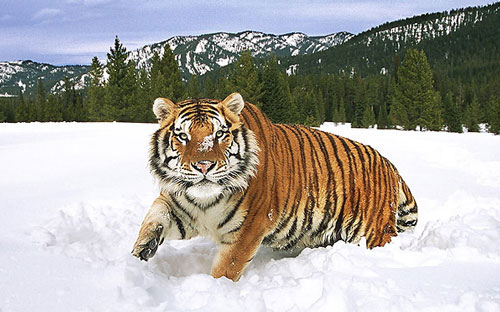 Attractively Taken Tiger Picture