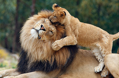 So Heartwarming Lion Picture