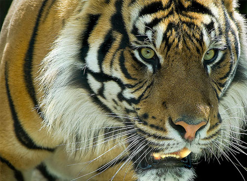 So Amazing Tiger Picture