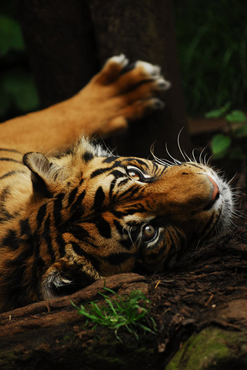 Indeed Nice Tiger Picture