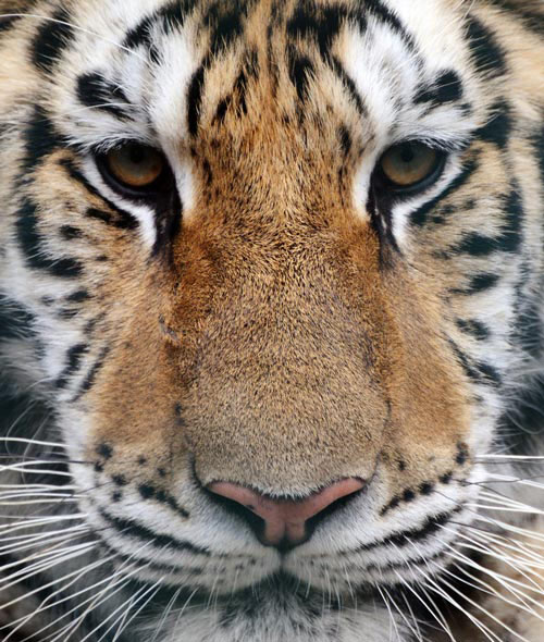 Nice Tiger Picture