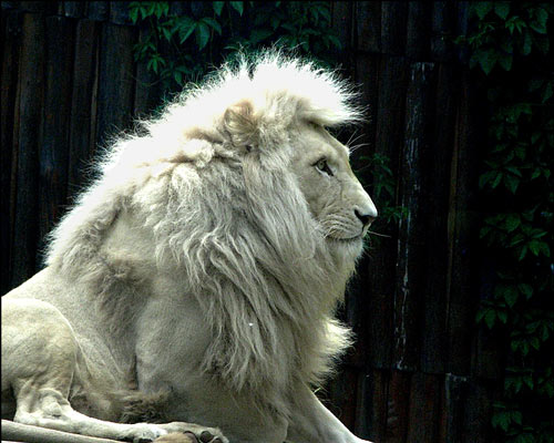So Cool Lion Picture