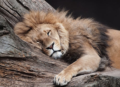 So Inspiring Lion Picture
